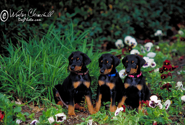 Dachshund Puppies outdoors<br /> <br /> <br /> <br /> <br /> <br /> <br /> Shopping cart has 3 Tabs:<br /> <br /> 1) Rights-Managed downloads for Commercial Use<br /> <br /> 2) Print sizes from wallet to 20x30<br /> <br /> 3) Merchandise items like T-shirts and refrigerator magnets