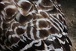 red-shouldered hawk, feathers
