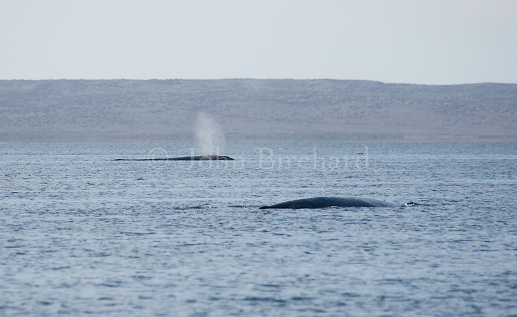 California Grey Whales calving and mating in Scanlans Lagoon near Guerro Negro in Baja California.
