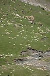 Sheep grazing in the Pyreneese mountains, Spain