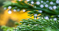 Raindrops on needle foliage of Cryptomeria japonica 'Globosa Nana' dwarf evergreen conifer in San Francisco Botanical Garden with Ginkgo tree autumn foliage in background