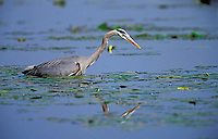 Great Blue Heron fishing for brown catfish/bullhead. Predator/prey. Spring. Series 1/6. British Columbia, Canada. (Ardea herodias).