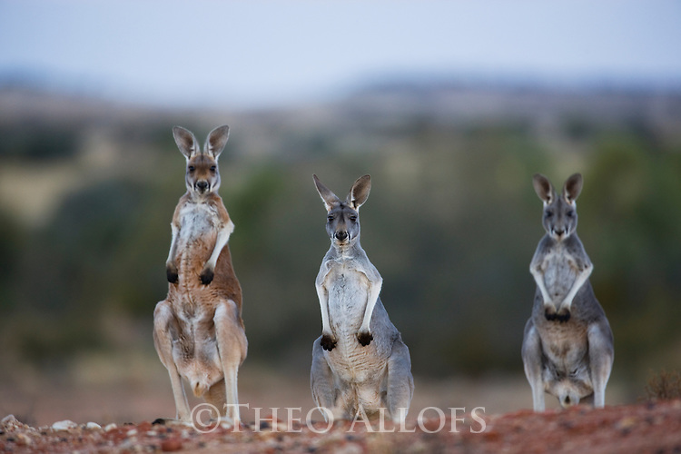 Australia,  NSW, Sturt National Park; red kangaroo adult female with joeys (Macropus rufus); the red kangaroo population increased dramatically after the recent rains in the previous 3 years following 8 years of drought