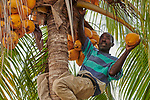 Robenson Vestus harvests coconuts on the Haitian island of La Gonave where Service Chrétien d'Haïti is working with survivors of Hurricane Matthew, which struck the region in 2016. A member of the ACT Alliance, SCH is helping families her to repair or rebuild their homes while also jump-starting their agricultural production.