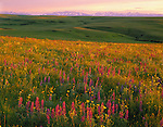 Wallowa County, OR  <br /> Sunset light on flowering lupine, arnica, and larkspur on Zumwalt prairie with the Wallowa mountains in the distance