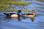 USA; California; Lakeside; San Diego:; Wood Ducks in Lakeside