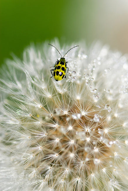 Dandelion and bug