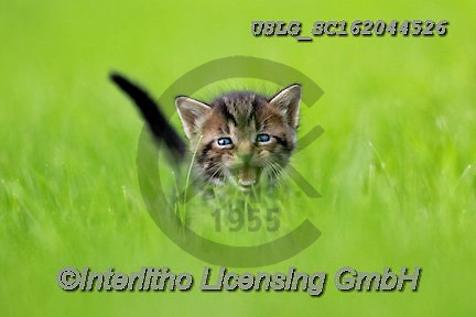 REALISTIC ANIMALS, REALISTISCHE TIERE, ANIMALES REALISTICOS, cats, paintings+++++,USLGSC162044526,#A#, EVERYDAY ,photos,fotos,pounce,cat,cats,kitten,kittens,Seth