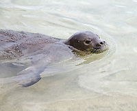 A Hawaiian monk seal swims at Ke'e Beach on Kaua'i; these seals are an endangered species.