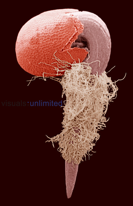 A radish seed germinating, showing the developing root and root hairs.  SEM X35  **On Page Credit Required**