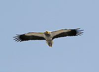 Egyptian Vulture - Neophron percnopterus