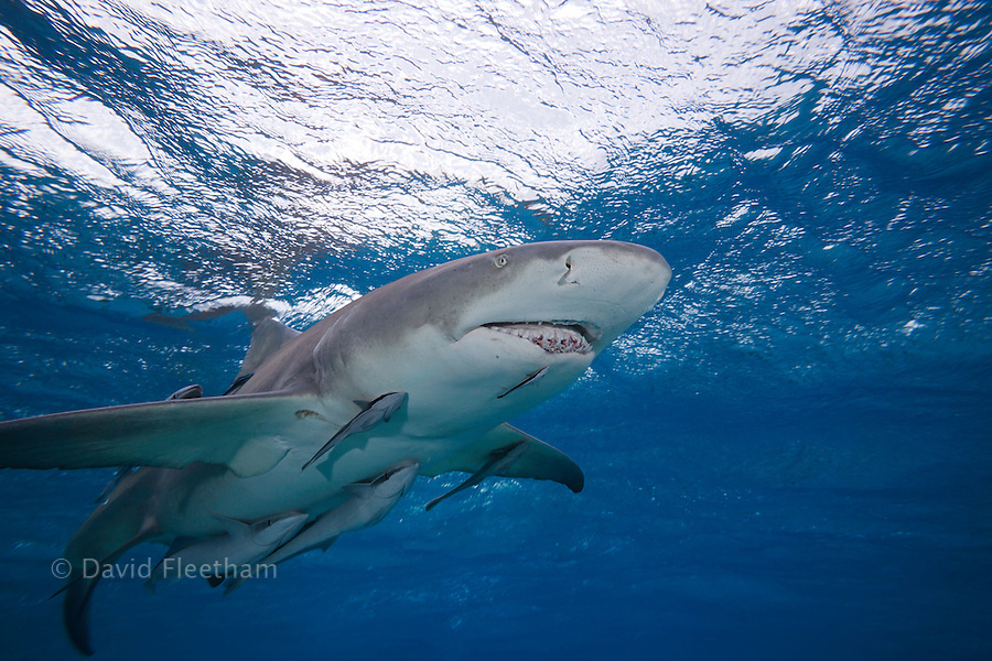 Lemon shark, Negaprion brevirostris, underwater with remoras, West End, Grand Bahamas, Atlantic Ocean.