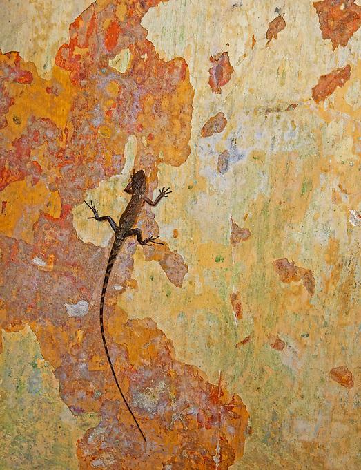 A lizard on a wall Cambodia