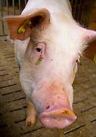 Europe, DEU, Germany, North Rhine-Westphalia, Bad Sassendorf, pig in the open stable of the agricultural educational institution Haus Duesse....Europa, DEU, Deutschland, Nordrhein-Westfalen, Bad Sassendorf, Zuchtschwein im Offenstall des landwirtschaftlichen Schulungszentrums Haus Duesse......[Copyright / Contact: Vera Schimetzek, Bornstrasse 5, 58300 Wetter, Germany, cell: 0049.(0)151.21220918, schimetzek@web.de, www.schimetzek-foto.de, publication is subject to a fee and report, the General Terms and Conditions apply. Die Veroeffentlichung ist melde- und honorarpflichtig, die AGB sind bindend.]