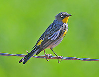 Adult male Audubon's yellow-rumped warbler in breeding plumage