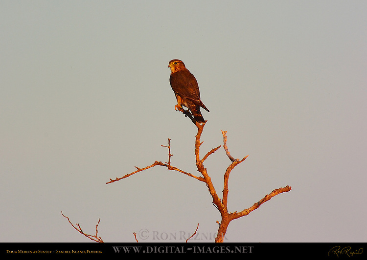 Taiga Merlin at Sunset, Sanibel Island, Florida