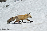 Red fox running in snow. Grand Teton National Park, Wyoming.
