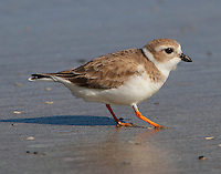 Piping plover in winter plumage shaking foot as feeding strategy