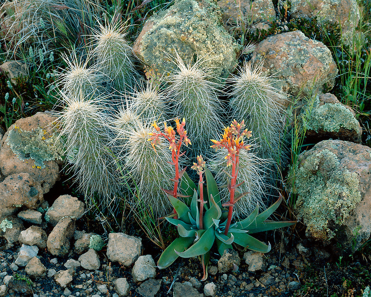 Canyon Dudleya in bloom and Hedgehog Cactus (Echinocereus sp.) in the Superstition Mountains; Coronado National Forest, AZ