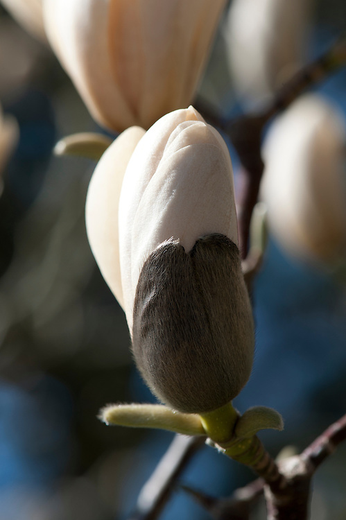 Magnolia sprengeri var. elongata, late March. From south central China.