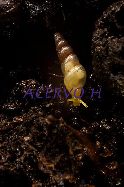 O Subulinidae, conhecido como caracol de jardim em quintal de casas na grande Bel&eacute;m.<br />  <br /> Subulinidae &eacute; uma fam&iacute;lia de pequenos carac&oacute;is terrestres de respira&ccedil;&atilde;o a&eacute;rea, moluscos de gastr&oacute;podes pulmonares terrestres na superfam&iacute;lia Achatinoidea
