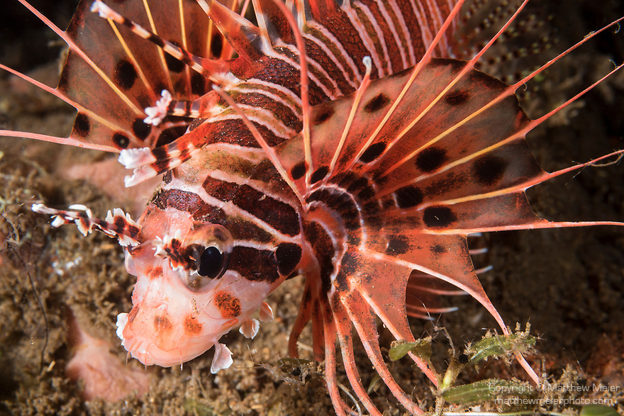 Dumaguete, Dauin, Negros Oriental, Philippines; a spotfin lionfish hovering over the sandy bottom