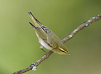 Wood Warbler - Phylloscopus sibilatrix