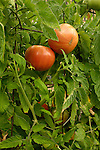 Tomatoes ripening on vine.