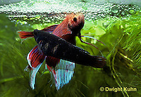 BY05-036z  Siamese Fighting Fish - male mating with female - Betta splendens