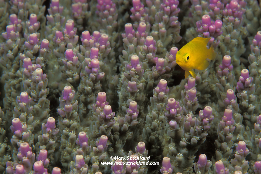 A juvenile Lemon Damselfish, Pomacentrus moluccensis, hovers over its home, a colony of Acropora coral. Raja Ampat Islands, West Papua, Indonesia, Pacific Ocean....