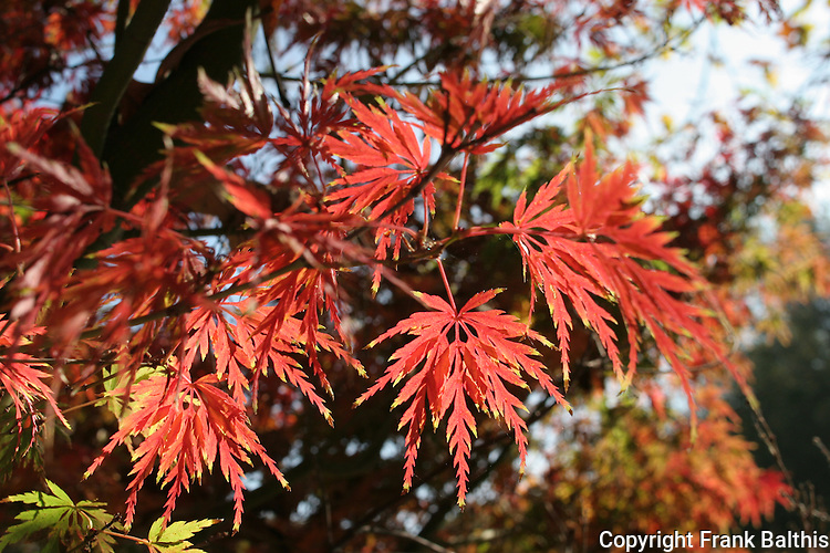 maple foliage in autumn