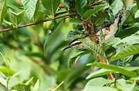 Rufous-naped Wren, Campylorhynchus rufinucha, in the gardens of the Hotel Bougainvillea, Santo Domingo de Heredia, Costa Rica