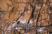 Bald eagle nest with fledging chick and one adult on cliff face in Southwest US.