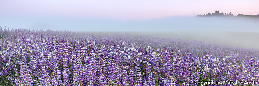 Redwood National Park, CA: Dawn light illuminates ground fog and a field of bigleaf lupine (Lupinus polyphyllus) in the Bald Hills