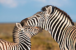 Burchell's zebra, Equus burchelli, with foal, Etosha national park, Namibia
