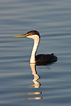 Portrait of a western grebe swimming in the waters of Yellowstone National Park, Wyoming.