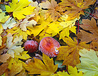 ORCAC_077 - USA, Oregon, Willamette National Forest, Amanita mushroom and fall-colored leaves of bigleaf maple on forest floor.