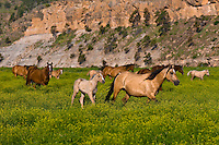 USA-South Dakota-Black Hills-Wild Horse Sanctuary