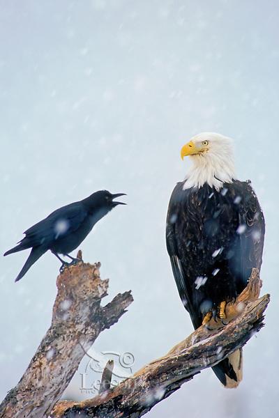 Bald Eagle (Haliaeetus leucocephalus) being harassed by crow.  Winter.