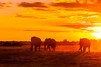 Herd of elephants silhouetted at sunset, Nxai Pan National Park, Botswana.