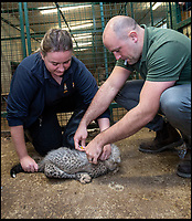 BNPS.co.uk (01202 558833)<br /> Pic: IanTurner/BNPS<br /> <br /> The cubs are inoculated and 'chipped' by vet Chris Manghan before they can go on display to the public.<br /> <br /> Spot On - Pitter-patter of tiny paws as a quartet of Cheetah cubs born at Longleat.<br /> <br /> Staff at the Wiltshire safari park are celebrating a record big cat litter for miracle mum Wilma.<br /> <br /> It's extremely rare to get four cubs all surviving, even in captivity. And in the wild only 1 in 3 cubs would be expected to reach adulthood.<br /> <br /> Part of a captive breeding program, the two boys and two girls are a ray of hope for the 'Vulnerable' species whose habitat is threatened in Africa.