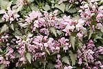 Pink Chablis Deadnettle, Lamium maculatum