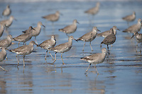 Willet (Tringa semipalmata inornata), Western subspecies, flock in winter plumage foraging on Cayucos Beach in Cayucos, California.