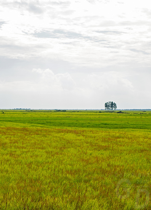 Vast rice fields on the road between Siem Reap and Battambang the agriculture region of Cambodia