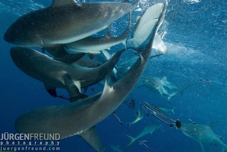 Grey reef sharks at North Horn.Carcharhinus amblyrhynchos