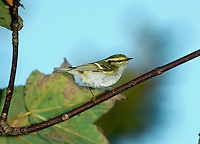 Pallas's Warbler Phylloscopus proregulus L 9-10cm. Tiny, energetic warbler whose active behaviour recalls that of Firecrest or Yellow-browed. 1st winter bird (plumage seen in Britain) has mainly olive-green upperparts while underparts are whitish. Note striking head pattern: dark eyestripe, bright yellowish supercilium, and pale median stripe on otherwise dark olive crown. Has two pale wingbars; pale rump can be hard to discern. Voice Calls include a soft tchuee. Status An Asian species that occurs here as scarce autumn vagrant (50-60 in a good year).