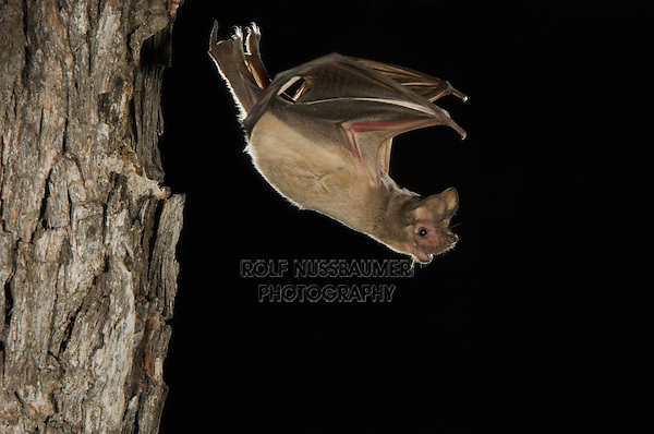 Mexican Free-tailed Bat, Tadarida brasiliensis, adult leaving day roost in tree hole, Willacy County, Rio Grande Valley, Texas, USA