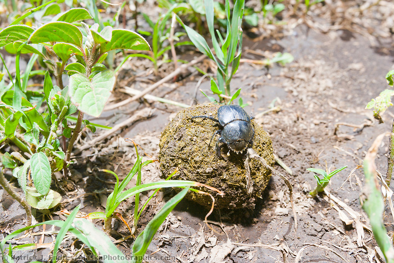 Dung Beetle, Serengeti National Park, Tanzania, East Africa