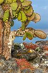 Galapagos Islands, Ecuador , Galapagos land iguana (Conolophus subcristatus)