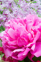 Paeonia Kansas peony with Syringa lilac flowers, closeup of pink flower in late spring, both are fragrant garden plants